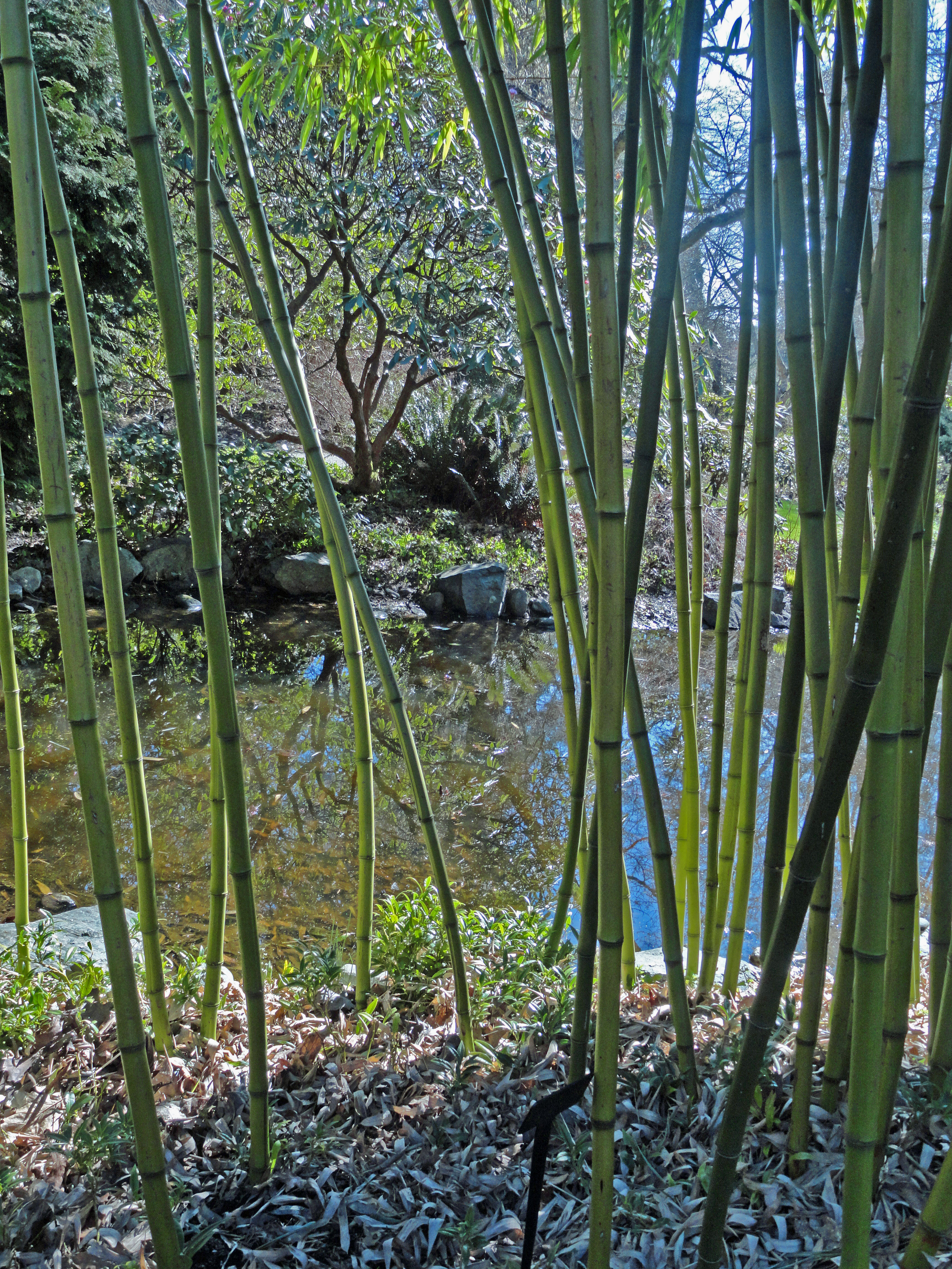 bamboo in March